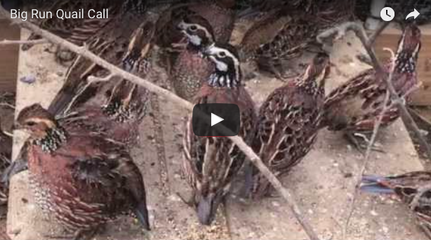 Bobwhite Call