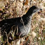 Blue Grouse