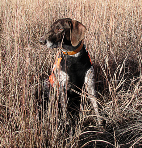 German Shorthair
