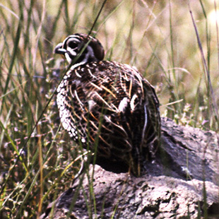 Mearns Quail - Ultimate Upland