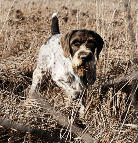 German Wirehaired
