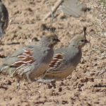 Upland Bird Conservation Quail