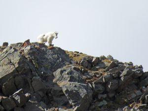 Deacon Goat