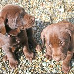 Little Chocolate Lab Pups