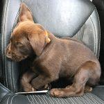 Worn out lab puppy