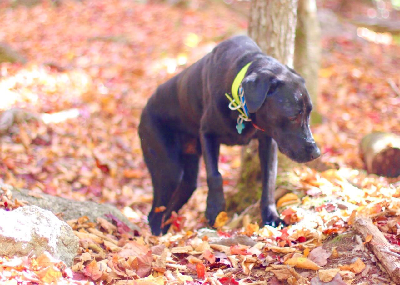 Black dog red leaves