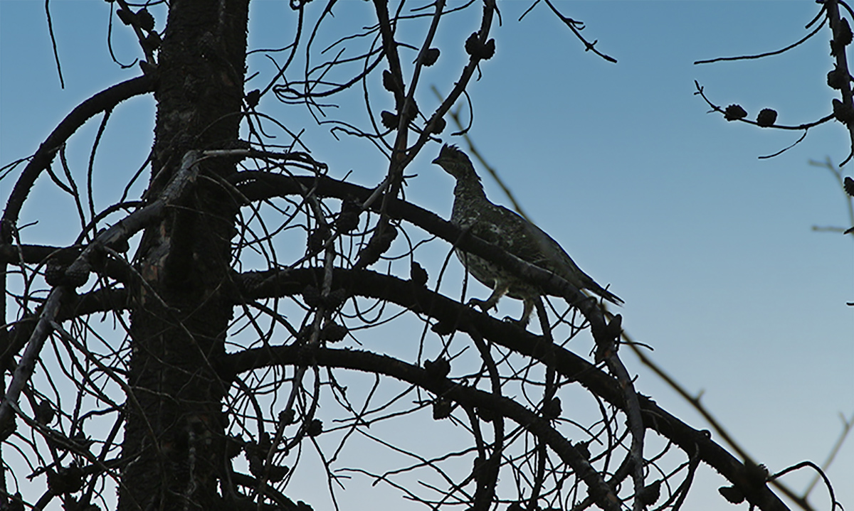 Blue Grouse in Tree