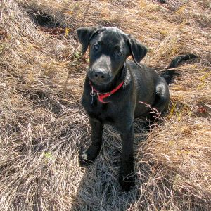 Young Black Lab