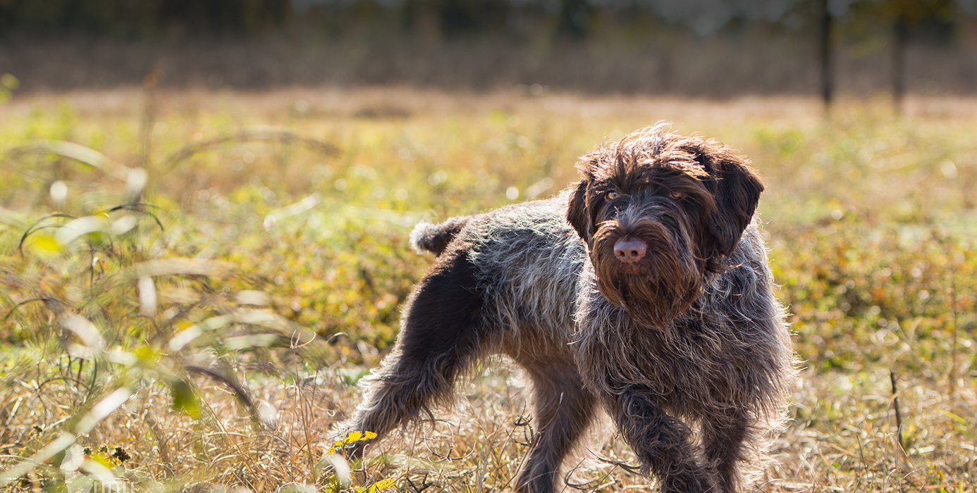 Wirehaired Griffon - Ultimate Upland Bird Dogs, pheasant ...