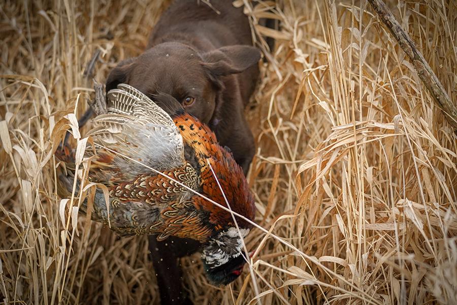 Lab Retrieving Ohio Pheasant