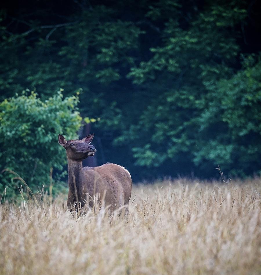 Eastern Cow Elk