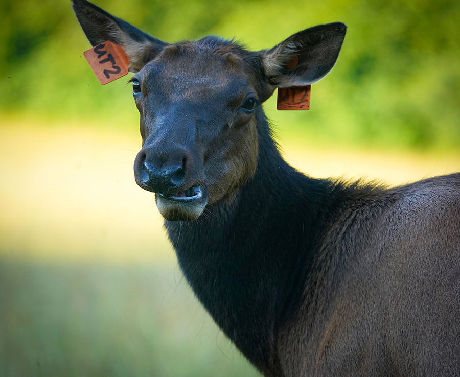 Elk with Ear Tags
