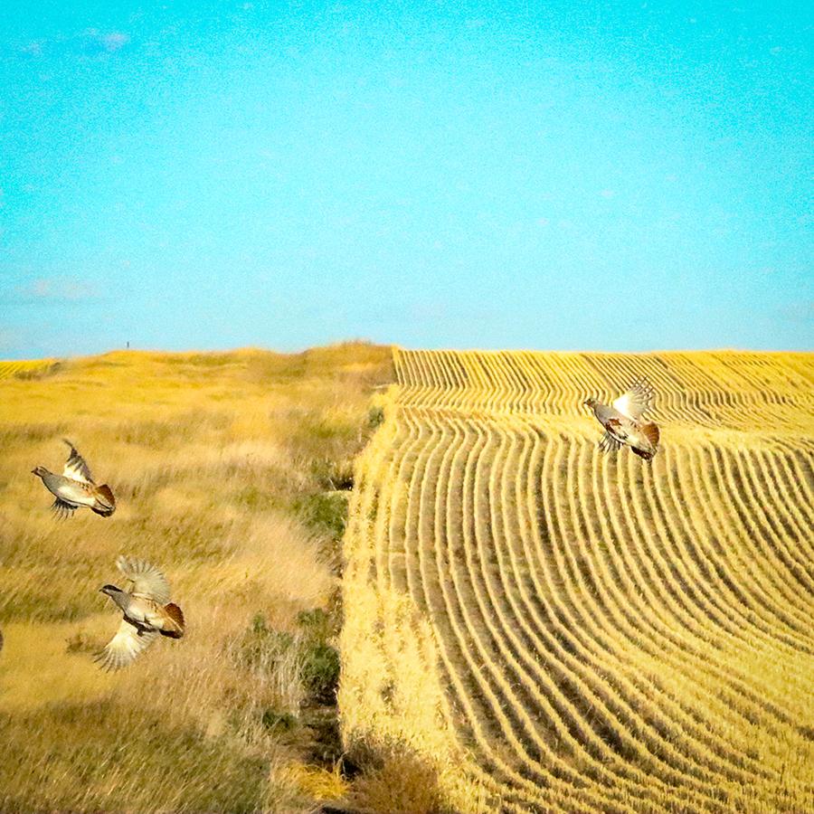 Hungarian Partridge