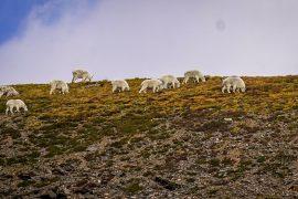 Colorado Mountain Goats